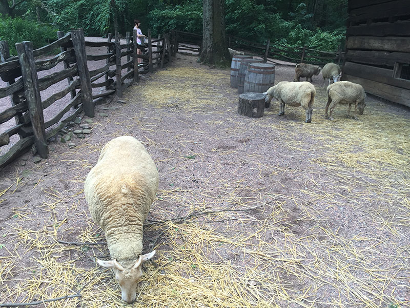 0212_ahc_sheep